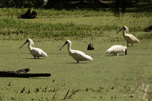 Royal Spoonbills, Hunter Wetlands