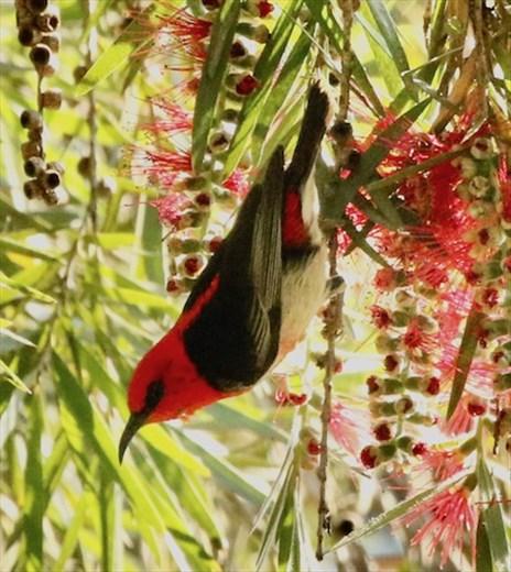 Scarlet Myzomela, Hunter Wetlands