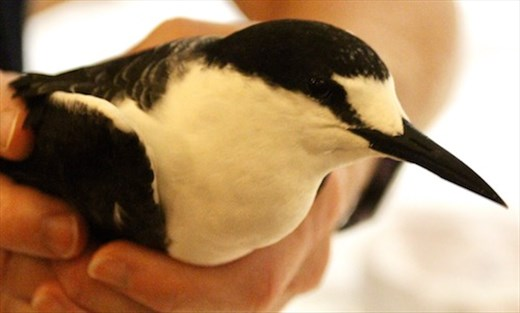 A sooty tern in the hand, Conflict Island, PNG