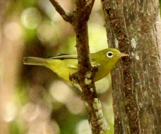 Is worth two silver white eyes in the bush, Conflict Island, PNG