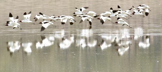 Red-necked Avocets, Lake Dyer