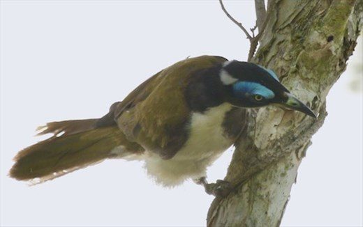 Blue-faced Honey-eater