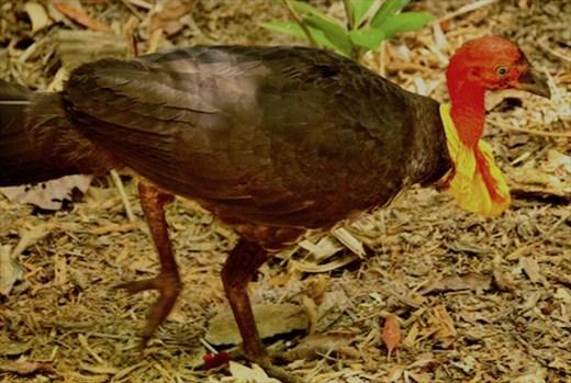Australian Bush Turkey, Cairns Botanic Garden