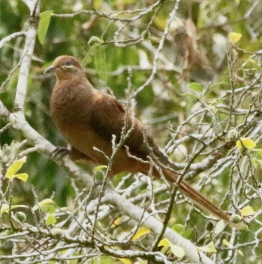 Brown Cuckoo Dove, Amamoor State Park, QLD