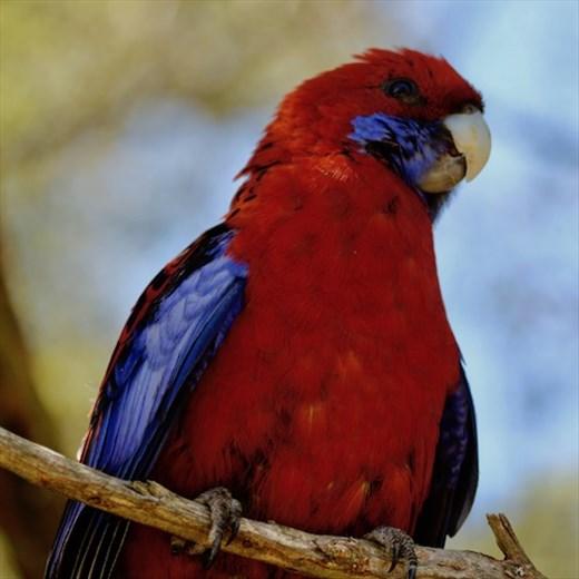 Crimson Rosella, Lamington NP, Queensland