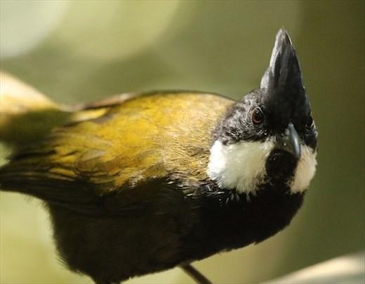 Eastern Whipbird, Lamington NP, Queensland