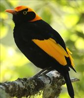 Regent Bowerbird, Lamington NP, Queensland: by graynomadsusa, Views[192]