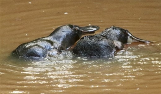 Finally, Platypus: Peterson Creek, Yungaburra QLD