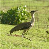 Australian Bustard: by graynomadsusa, Views[6]