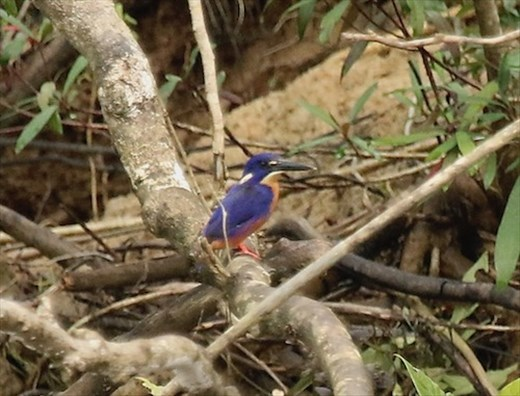 Azure Kingfisher, Daintree River