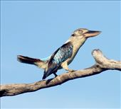 Blue-winged Kookaburra, Cooktown: by graynomadsusa, Views[358]