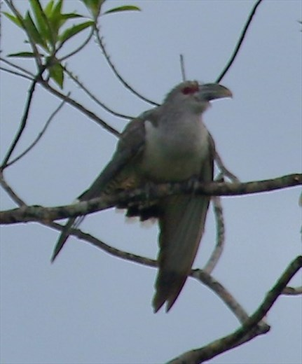 Channel-billed Cuckoo, Daintree River