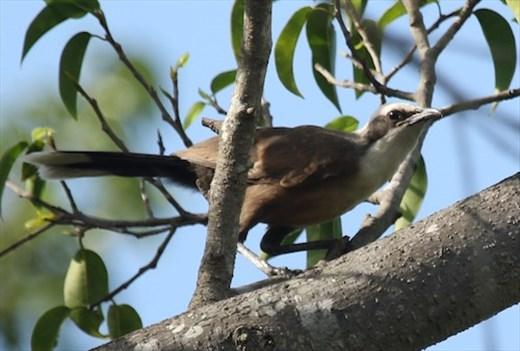 Grey-crowned Babbler, Mareeba QLD