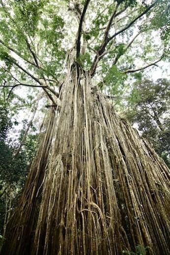 Curtain Fig, Yungaburra QLD