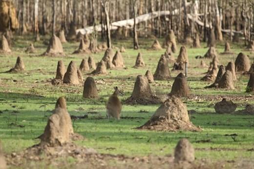Wallaby among the termite mounds, Mareeba QLD