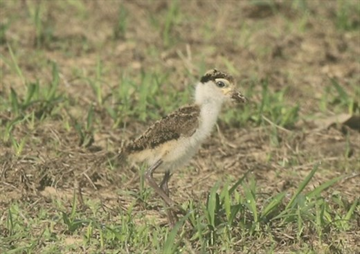Masked Lapwing Chick, Mareeba QLD