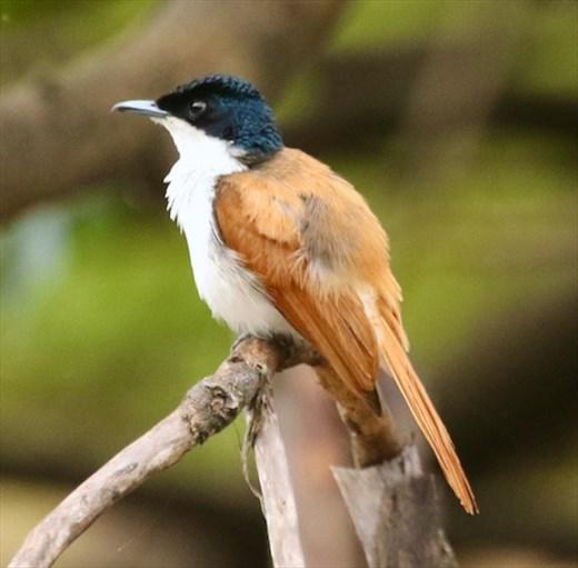 Female Shining Flycatcher, Daintree River