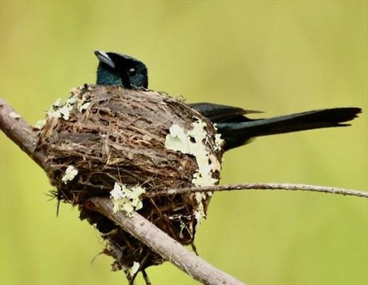 Male Shining Flycatcher on nest, Daintree River