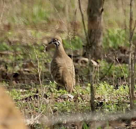 Squatter Pigeon, Mareeba QLD