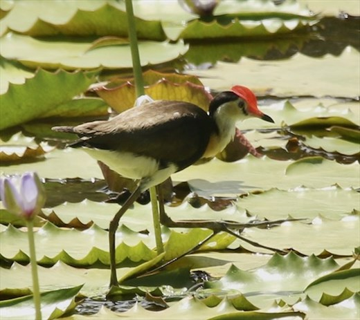 Combe-crested Jacana, Keatings Lagoon, Cooktown
