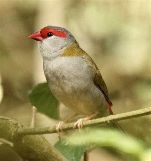 Red-browed firetail, Atherton Tablelands