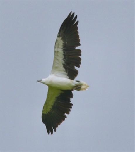 White-bellied Sea Eagle, Queensland