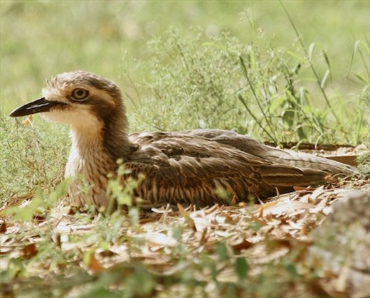 Brush Stone Curlew, Atherton Tablelands