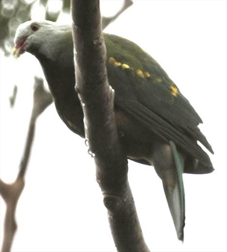 Wompoo Fruit Dove, Hilltop House