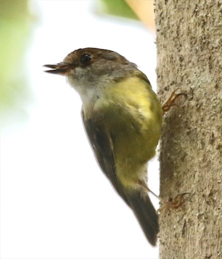 White-throated gerygone, Atherton Tablelands