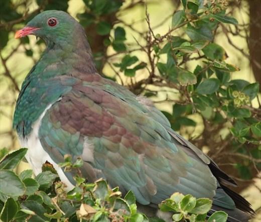 New Zealand Pigeon, Stewart Island