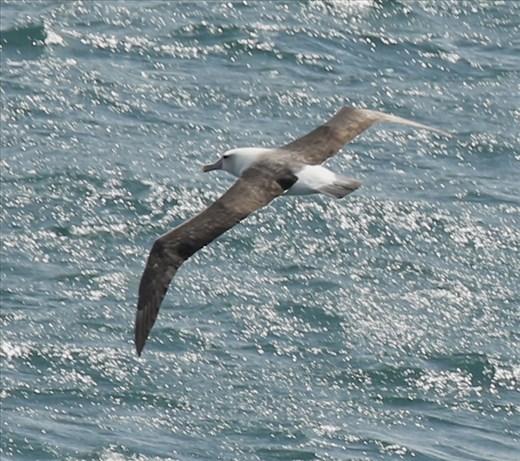 Salvin's Albatross, Stewart Island