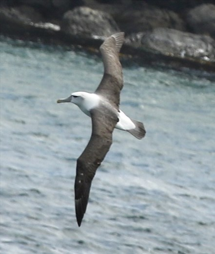 Shy Albatross, Stewart Island