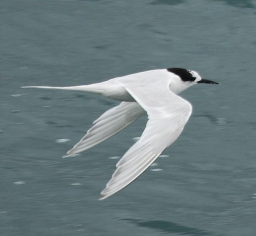 White-Fronted Tern, Picton