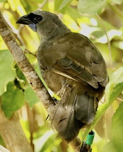 North Island Kokako, bird of the day, Tiritiri Matangi