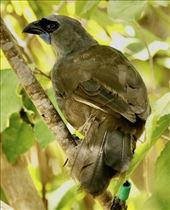 North Island Kokako, bird of the day, Tiritiri Matangi: by graynomadsusa, Views[38]