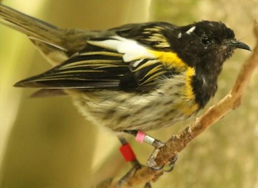 Stitchbird (with bands) Tiritiri Matangi