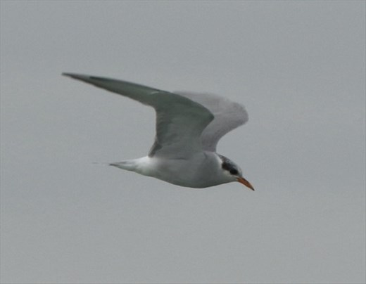 Black-fronted Tern, Ashley-Rakahuri Estuary