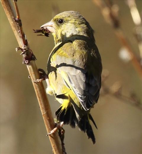 Greenfinch, Lake Hayes