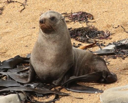 New Zealand fur seal, Katiki Point