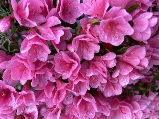 Azalea blooms after an April shower