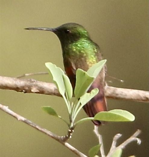 Berylline Hummingbird, Oaxaca
