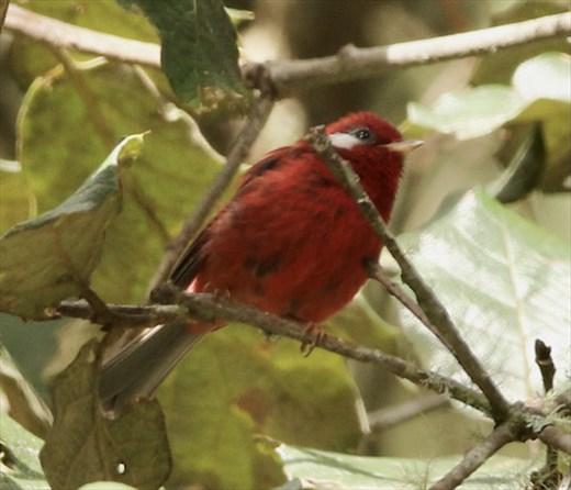 Red Warbler, near Benito Juarez