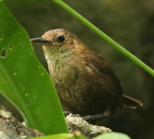 Nava's Wren—this is what we came for, Jaguar Reserve