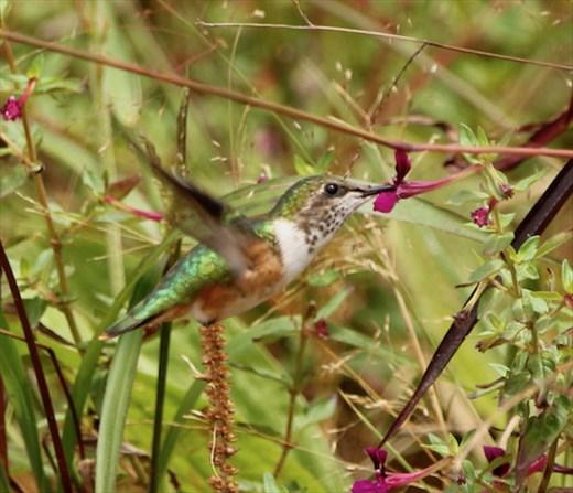 Bumblebee Hummingbird