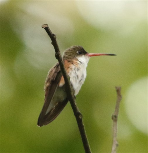 Chestnut-sided Hummingbird.Sierra del Sur