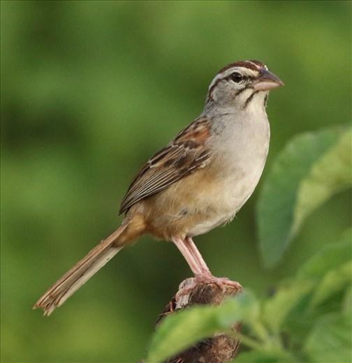 Cinnamon-tailed Sparrow, Ventosa