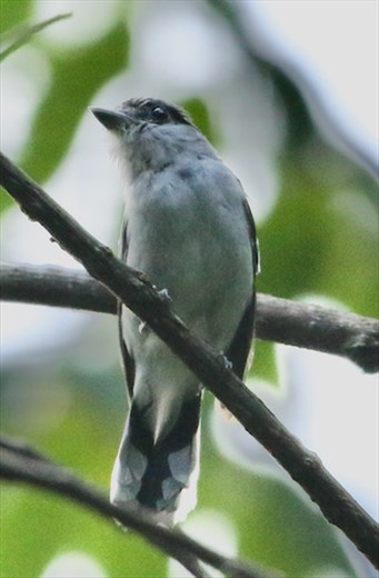 Grey-collared Becard