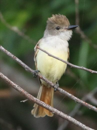 Nutting-s Flycatcher, Ventosa