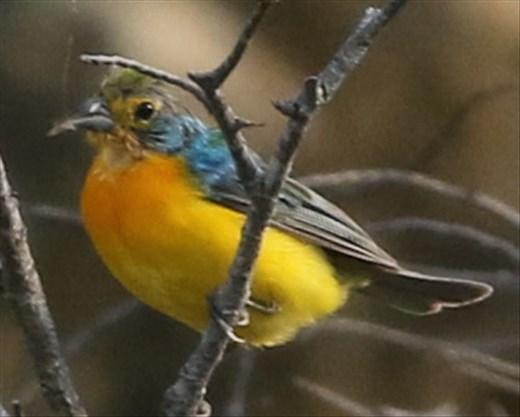 Orange-breasted Bunting, Ventosa