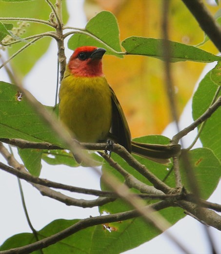 Red-headed Tanager, Don Alfredo's Finca